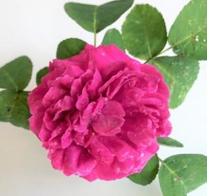 Persisk rose fik Bach-dråber mod svamp